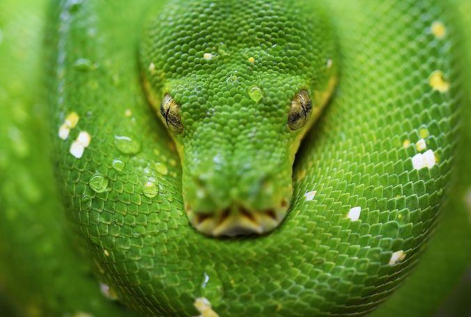 Las serpientes son sagradas en muchas partes de África en donde se les considera representaciones de las almas muertas.